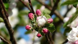 Соцветие нераспустившегося яблоневого цвета
