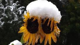 Снег лежит на подсолнухах
