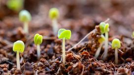 Зеленые ростки капусты из земли