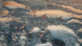 горные бараны скачут по скалам