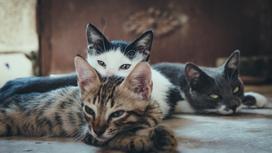 Три кошки лежат
