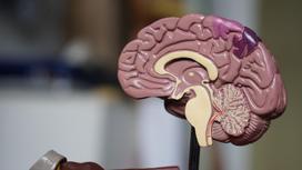 Макет мозга