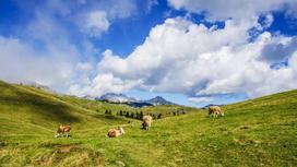 Коровы пасутся в горах