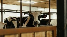 Коровы стоят в загоне