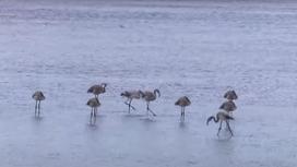 Фламинго стоят в воде озера Малый Талдыколь