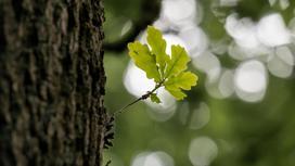 дуб и его лист