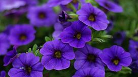 Цветки петунии фиолетового цвета