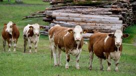 Коровы ходят на фоне поваленных стволов деревьев