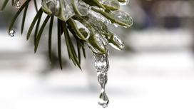 Талая вода капает с хвойной ветки