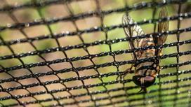 Лошадиная муха или лошадиная кровососка вида Tabanus atratus