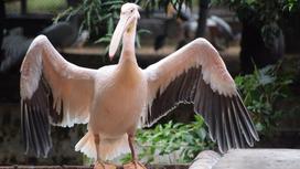 Пеликан машет крыльями