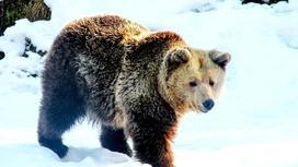 Медведь идет по снегу