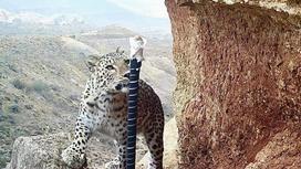 Переднеазиатский леопард стоит на возвышенности