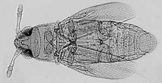 Жесткокрылое насекомое с усиками