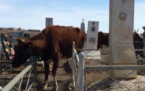 Коровы пасутся прямо на кладбище в Балхаше (фото)