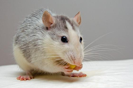Серая с белым крыса держит в лапах зернышко кукурузы