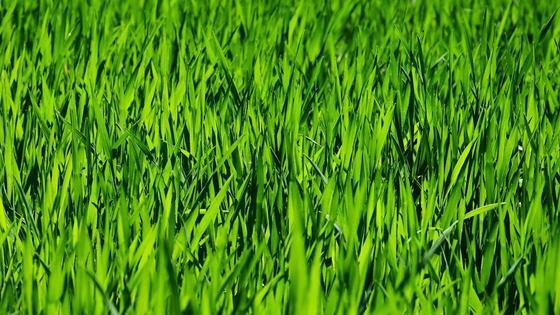 Зеленая трава на газоне