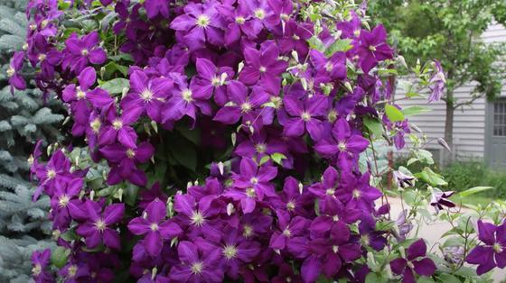 Цветы клематиса