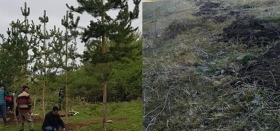 Порядка 20 сосен выкопали и украли в Алматинской области