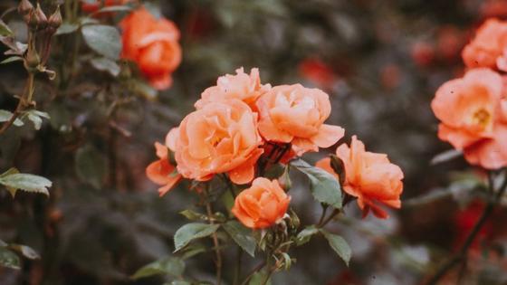 Оранжевые цветки плетистых розы собраны веночком