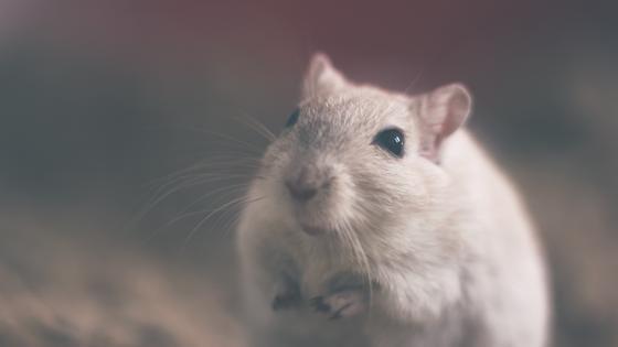 Белая мышь