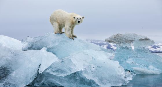 Белые медведи могут полностью вымереть к началу следующего века