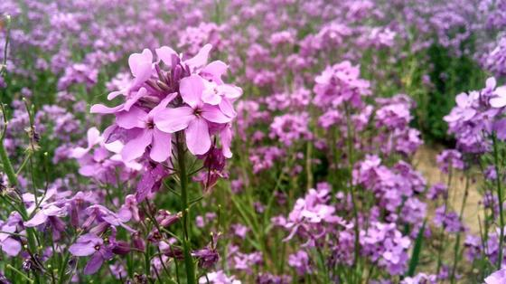 Цветки вербены сиреневого цвета