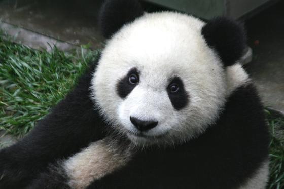 Черно-белая панда