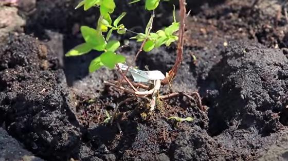 Саженец жимолости с разветвленными корнями в лунке