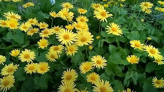 Желтые цветы, похожие на ромашку, на клумбе