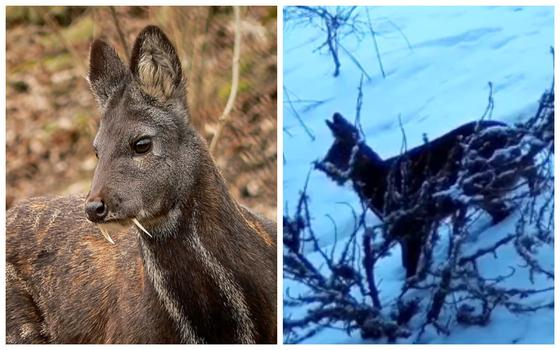 Маленький олень с клыками попал в фотоловушку в ВКО