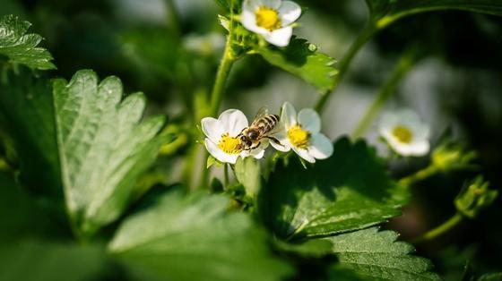 Кустики клубники с белыми цветками