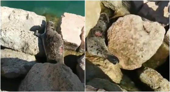 Еще одного раненого тюленя сняли на видео в Актау