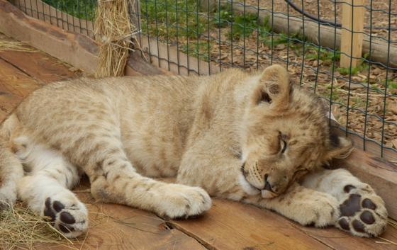 Скандальный контактный зоопарк переехал из Алматы в Караганду, заявили зоозащитники