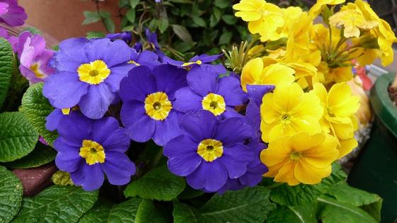 Фиолетовые и желтые цветки примулы