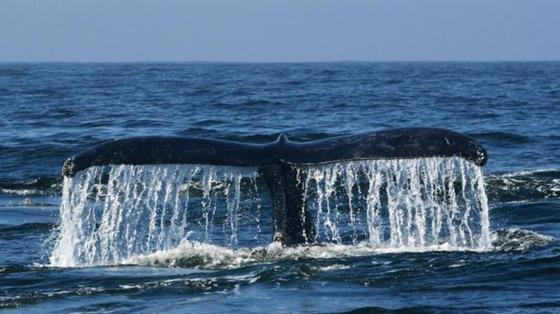Япония объявила о возобновлении китобойного промысла