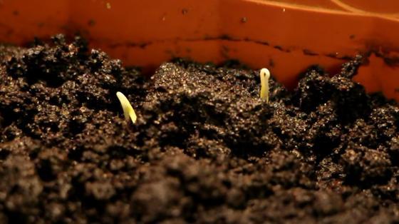 Два маленьких ростка во влажной земле засыпанной в коробку