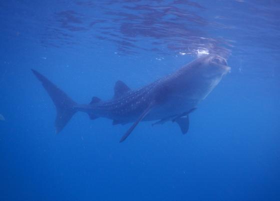 Китовая акула у поверхности воды