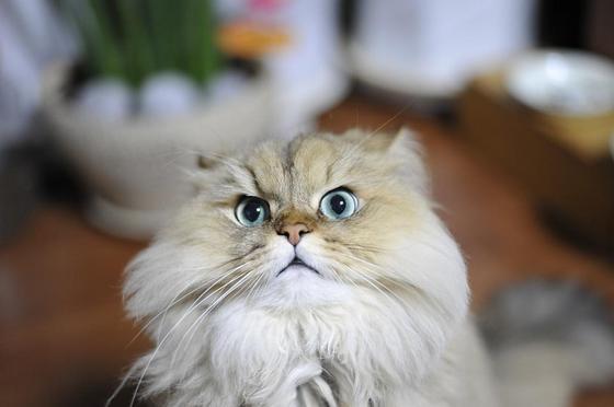 Персидская кошка: описание породы, фото
