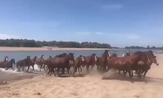 """""""Хоть кому-то можно"""": купающиеся лошади и коровы развеселили Казнет"""