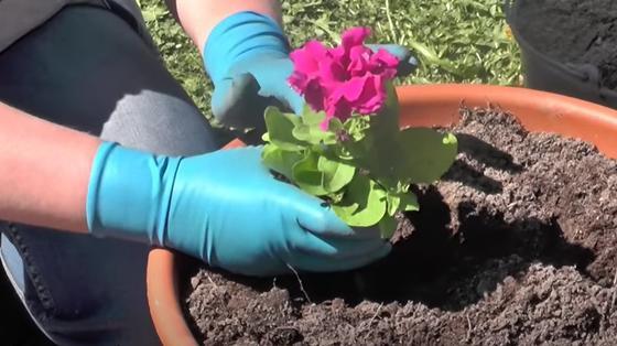 Розовую цветущую петунию сажают в большой горшок