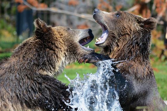 Два медведя в воде