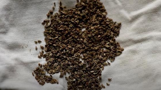 Семена моркови на ткани