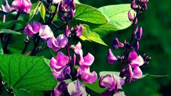 Розово-фиолетовые цветы долихоса