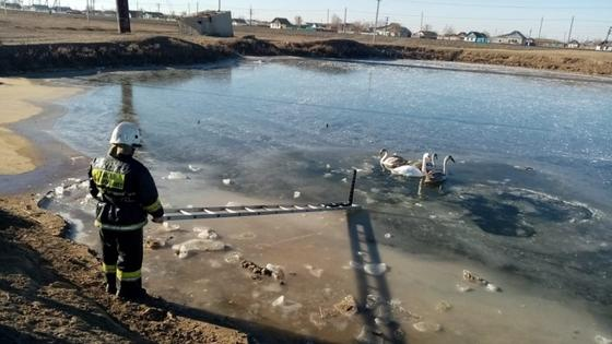 Спасатель вызволяет лебедей из воды