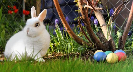 Белый кролик и цветные яйца под кустом