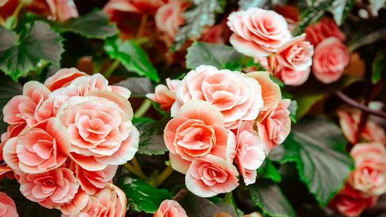 Соцветия вьющейся розы кремового цвета