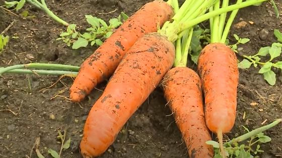 Выкопанная из земли морковь на грядке