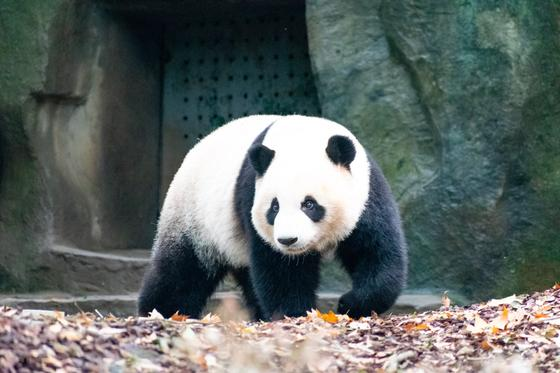 Панда на листве