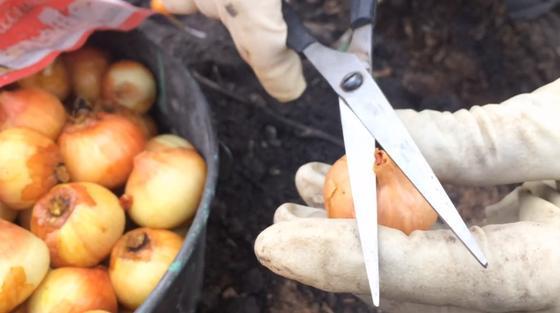 Подрезка верхушек у луковиц